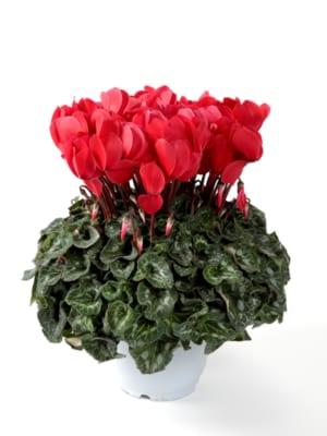 「平成29年度全国花き品評会シクラメン部門」が開催されました。