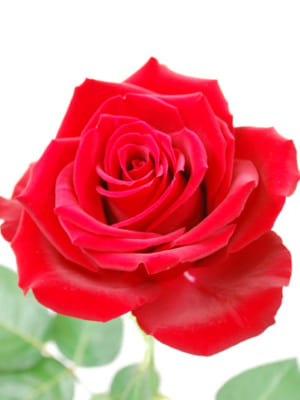 安彦園芸のバラ