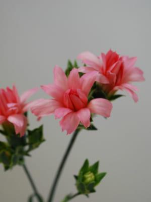 香川県 綾川花卉園のカーネーションとラナンキュラス