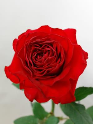 JA大井川メダリオンのバラ
