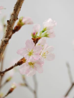 JAさがえ西村山の啓翁桜