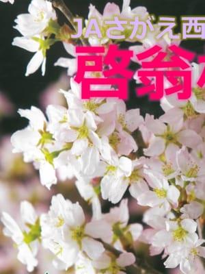 JAさがえ西村山「啓翁桜」トップセールスが行われました