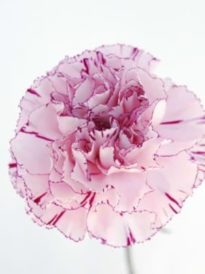 JA西三河切り花グループ『匠』のカーネーション