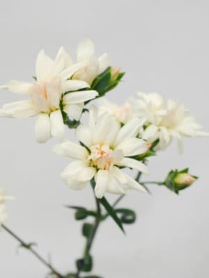 香川県 綾川花卉園のカーネーション