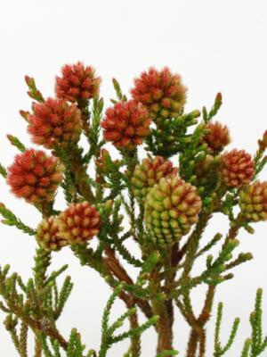 The Flower companyの南アフリカ産ネイティブフラワー
