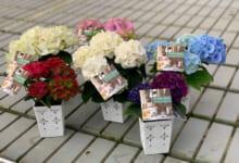 大栄花園 ハイドランジア(キッチンアジサイ)