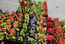カクタス長田 食虫植物