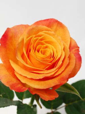 ケニア産のバラ