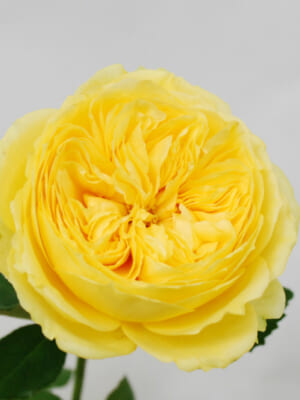 山本バラ園のバラ